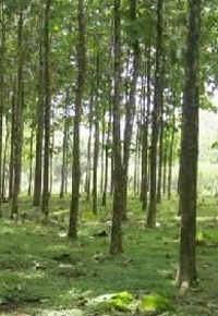 three year old plantation teak in panama